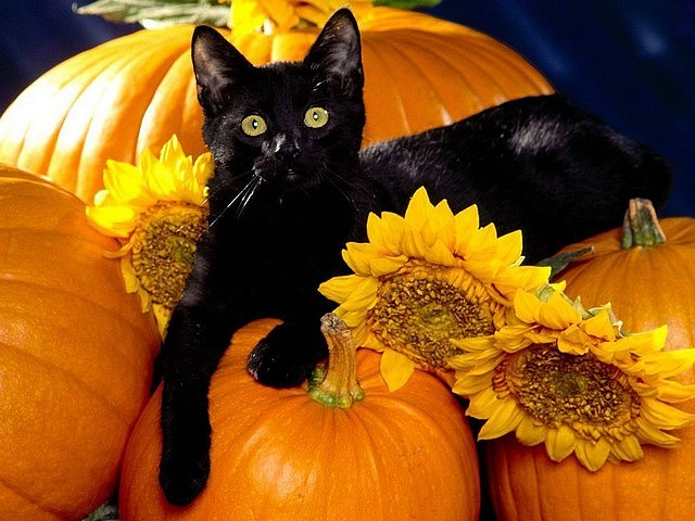 Halloween Black Cat among Pumpkins - The black cat among pumpkins is associated with Halloween and the occult by different cultures, as evils, causing bad luck, familiar of witches, and many other dark things. - , Halloween, black, cat, cats, pumpkins, pumpkin, holidays, holiday, party, parties, feast, feasts, festival, festivals, festivity, festivities, occult, cultures, culture, evils, evil, bad, luck, lucks, familiar, witches, witch, dark, things, thing - The black cat among pumpkins is associated with Halloween and the occult by different cultures, as evils, causing bad luck, familiar of witches, and many other dark things. Solve free online Halloween Black Cat among Pumpkins puzzle games or send Halloween Black Cat among Pumpkins puzzle game greeting ecards  from puzzles-games.eu.. Halloween Black Cat among Pumpkins puzzle, puzzles, puzzles games, puzzles-games.eu, puzzle games, online puzzle games, free puzzle games, free online puzzle games, Halloween Black Cat among Pumpkins free puzzle game, Halloween Black Cat among Pumpkins online puzzle game, jigsaw puzzles, Halloween Black Cat among Pumpkins jigsaw puzzle, jigsaw puzzle games, jigsaw puzzles games, Halloween Black Cat among Pumpkins puzzle game ecard, puzzles games ecards, Halloween Black Cat among Pumpkins puzzle game greeting ecard