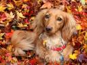 Dachshund surrounded by Autumn Leaves Wallpaper