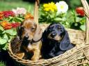 Dachshunds in a Basket