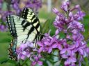 Swallowtail Butterfly on Lilac Blossom