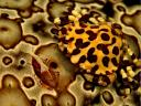 Commensal Crab on Leopard Sea Cucumber Fiji Islands South Pacific Ocean