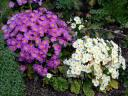 Primroses in full Bloom