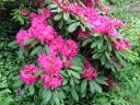 Rhododendron Macrophyllum the Washington State Symbol