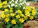Spring Flowers Aconites and Snowdrops