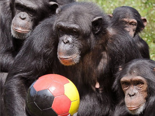 Animals World Cup Chimpanzees at Serengeti Park in Germany - Chimpanzees play 'Animals World Cup' with a ball in colours of the German National flag at Serengeti Safary Park in Hodenhagen, Germany. - , Animals, World, Cup, chimpanzees, chimpanzee, Serengeti, Park, Germany, animals, animal, sport, sports, show, shows, match, matches, tournament, tournaments, football, footballs, soccer, soccers, German, National, flag, flags, Safary, Hodenhagen - Chimpanzees play 'Animals World Cup' with a ball in colours of the German National flag at Serengeti Safary Park in Hodenhagen, Germany. Solve free online Animals World Cup Chimpanzees at Serengeti Park in Germany puzzle games or send Animals World Cup Chimpanzees at Serengeti Park in Germany puzzle game greeting ecards  from puzzles-games.eu.. Animals World Cup Chimpanzees at Serengeti Park in Germany puzzle, puzzles, puzzles games, puzzles-games.eu, puzzle games, online puzzle games, free puzzle games, free online puzzle games, Animals World Cup Chimpanzees at Serengeti Park in Germany free puzzle game, Animals World Cup Chimpanzees at Serengeti Park in Germany online puzzle game, jigsaw puzzles, Animals World Cup Chimpanzees at Serengeti Park in Germany jigsaw puzzle, jigsaw puzzle games, jigsaw puzzles games, Animals World Cup Chimpanzees at Serengeti Park in Germany puzzle game ecard, puzzles games ecards, Animals World Cup Chimpanzees at Serengeti Park in Germany puzzle game greeting ecard