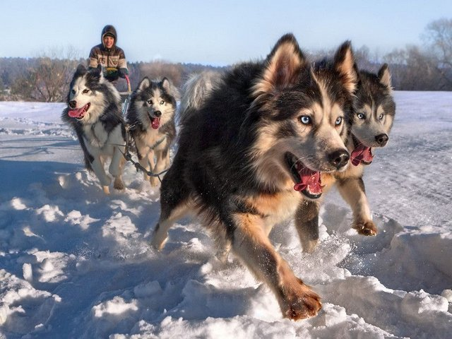 Siberian Husky Sled Dogs - The best sled dogs are the purebred dog breeds, such as the Siberian Husky, Alaskan Malamute, Chinook and Samoyed.<br /> Dog sledge teams were first used in Antarctica in 1898 by the British Antarctic Expedition. Roald Amundsen used sled dogs to reach the South Pole in 1911. <br /> The sled dogs today are still used by some communities, especially in areas of Alaska and Canada and throughout Greenland. They are used for recreational purposes and racing events, such as the Iditarod Trail and the Yukon Quest. - , Siberian, Husky, sled, dogs, dog, animals, animal, purebred, breeds, bred, Alaskan, Malamute, Chinook, Samoyed, teams, team, Antarctica, 1898, British, Antarctic, Expedition, Roald, Amundsen, South, Pole, 1911, today, communities, community, areas, area, Alaska, Canada, Greenland, recreational, purposes, purpose, racing, events, event, Iditarod, Trail, Yukon, Quest - The best sled dogs are the purebred dog breeds, such as the Siberian Husky, Alaskan Malamute, Chinook and Samoyed.<br /> Dog sledge teams were first used in Antarctica in 1898 by the British Antarctic Expedition. Roald Amundsen used sled dogs to reach the South Pole in 1911. <br /> The sled dogs today are still used by some communities, especially in areas of Alaska and Canada and throughout Greenland. They are used for recreational purposes and racing events, such as the Iditarod Trail and the Yukon Quest. Solve free online Siberian Husky Sled Dogs puzzle games or send Siberian Husky Sled Dogs puzzle game greeting ecards  from puzzles-games.eu.. Siberian Husky Sled Dogs puzzle, puzzles, puzzles games, puzzles-games.eu, puzzle games, online puzzle games, free puzzle games, free online puzzle games, Siberian Husky Sled Dogs free puzzle game, Siberian Husky Sled Dogs online puzzle game, jigsaw puzzles, Siberian Husky Sled Dogs jigsaw puzzle, jigsaw puzzle games, jigsaw puzzles games, Siberian Husky Sled Dogs puzzle game ecard, puzzles games ecards, Siberian Husky Sled Dogs puzzle game greeting ecard