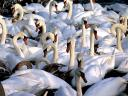 Abbotsbury Swannery Colony of Mute Swans