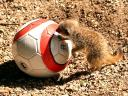 Animals World Cup Baby Meercat at Bristol Zoo in England