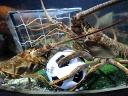 Animals World Cup Lobsters at Sea Life Aquarium in Germany