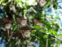 Butterfly Monarch Migration