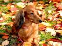 Dachshund on Autumn Carpet Wallpaper