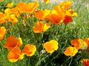 Spring Flowers Golden California Poppies