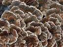 Turkey Tail Mushrooms in Buttermilk Falls State Park Ithaca New York USA
